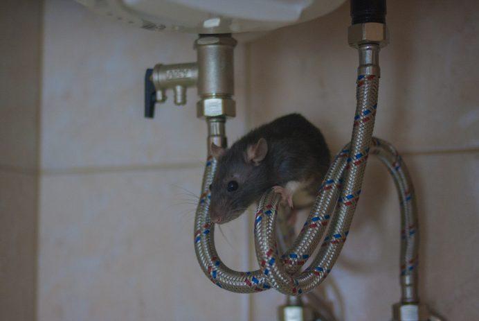 rat on plumbing