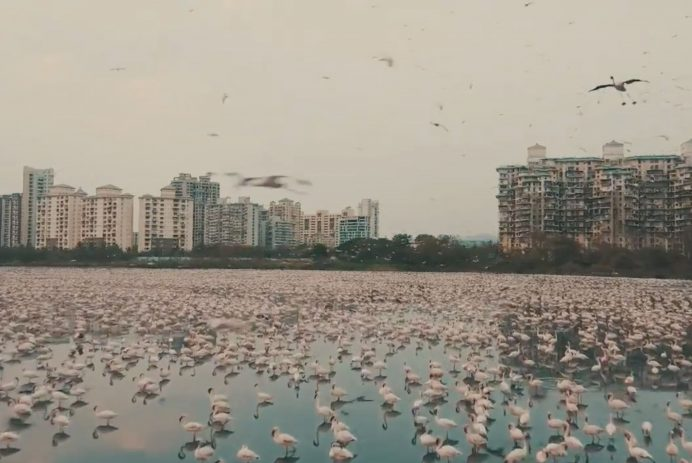 Flamingos have taken over Mumbai while humans stay at home