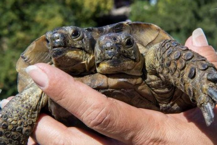 Janus, two-headed tortoise